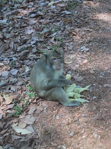 Angkor Wat Monkey Eating