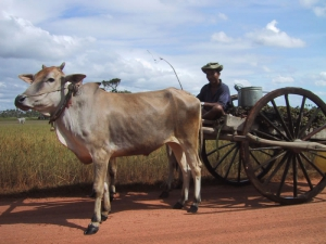 Cambodian Man With Oxcart