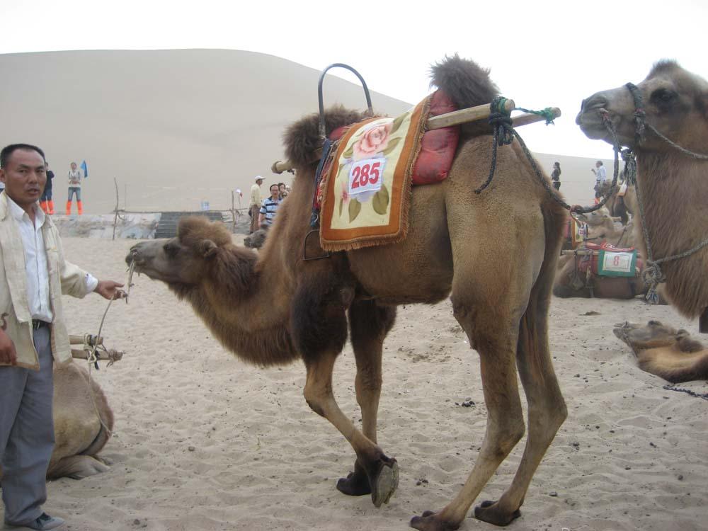 Dunhuang Camel Kneeling