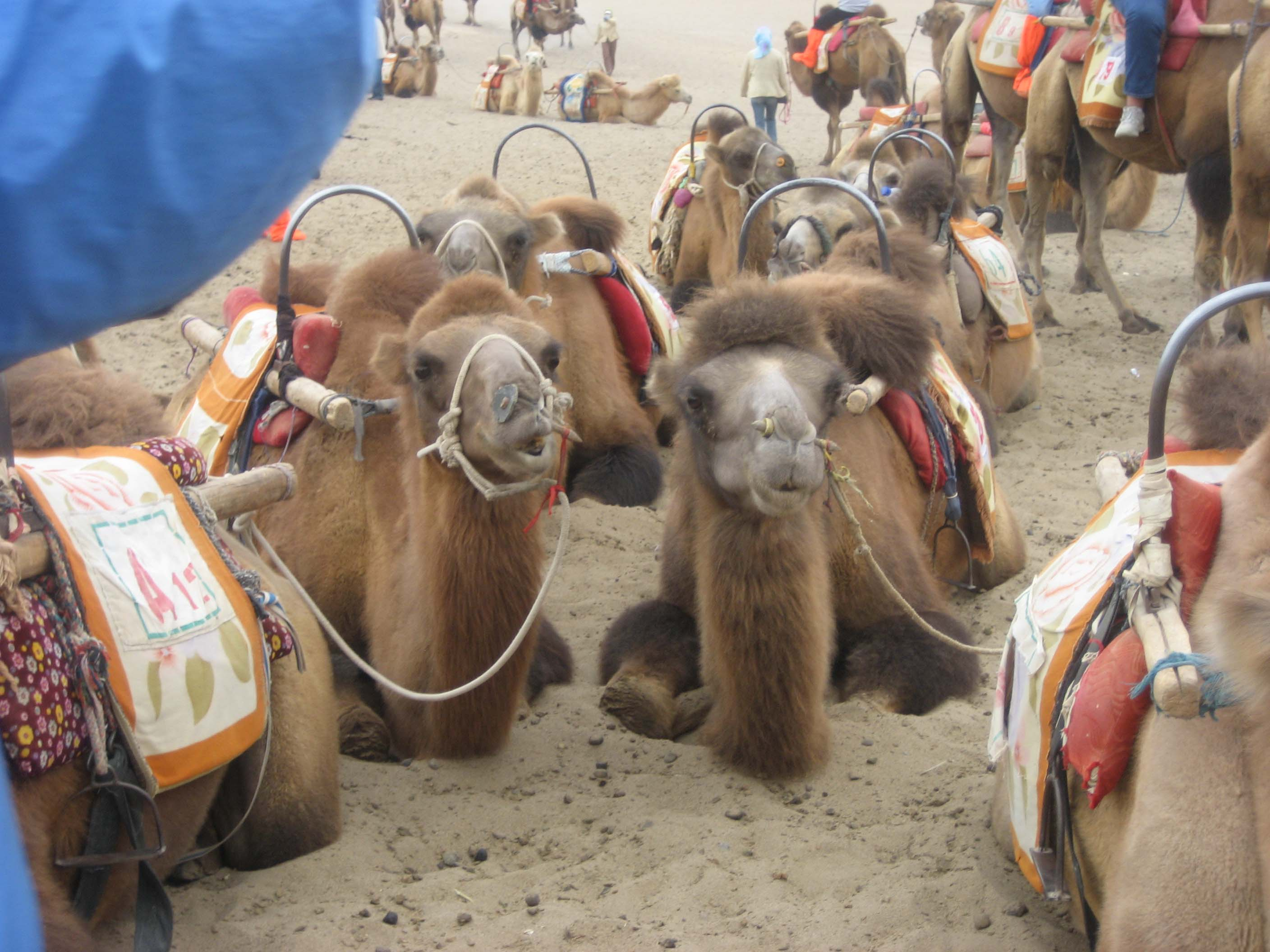 Dunhuang Parked Camels Have Pierced Noses