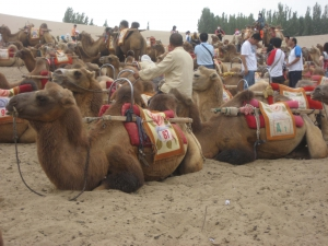 Camel Parking Lot - Camels Laying Down
