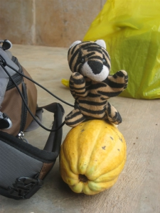 The traveling tiger with a cacao pod