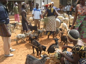 Goats at the market in Ghana