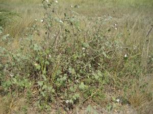 Cotton growing wild near Lake Volta, Ghana