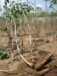 Cassava plant and cassava root in Ghana