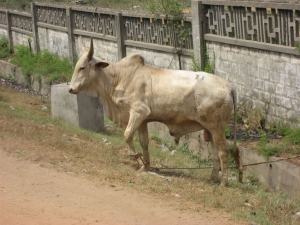 A cow in Ghana. Notice the hump!