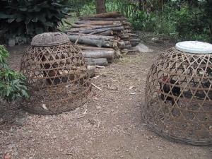 Hanoi Fighting Cocks
