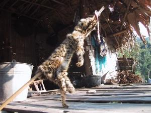 Skinned Tiger Cub