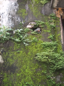 Moss On A Wall in Hoi An