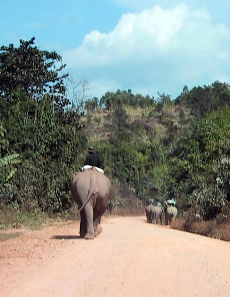 Elephants in Road