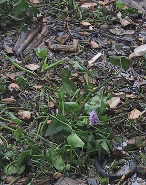 Vietname Water Hyacinth in Trash in Mekong