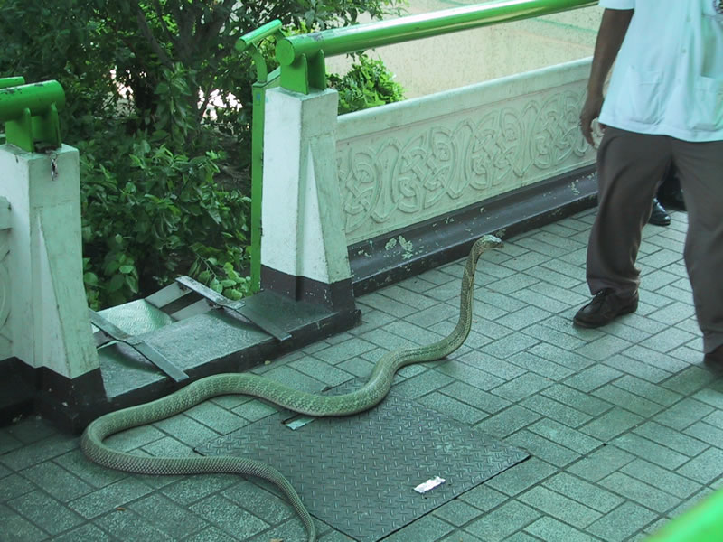 Snake Farm King Cobra