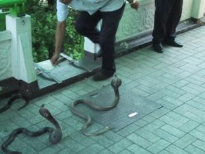 Siamese Cobras