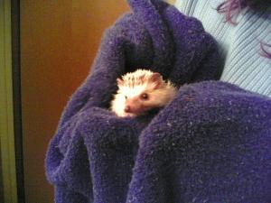 Drying Hedgehog
