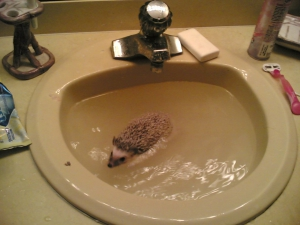 Hedgehog Swimming