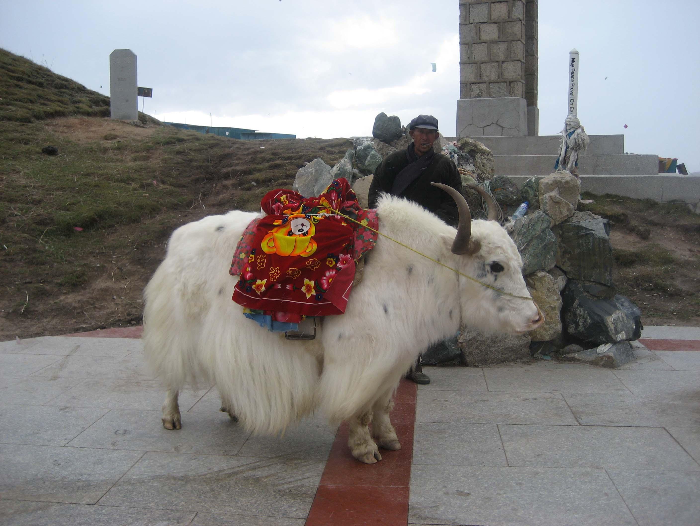 Xining White Yak
